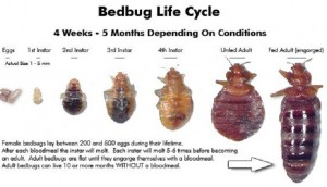 BED BUG LIFE CYCLE: The life cycle of a bed bug will see it grow from a egg looking like a tiny grain of rice (1 mm), to an adult bed bug in about 2 months. It will molt 5-6 times.